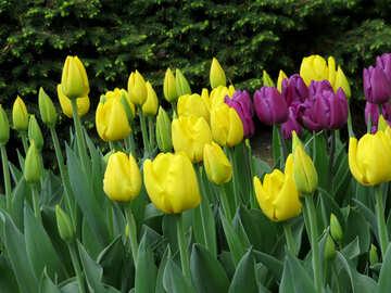 Tulip flower №31277