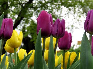 Flowers tulips №31269