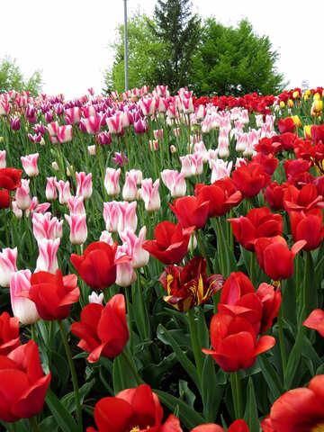 Tulips №31163