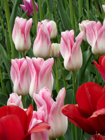 Tulips №31164
