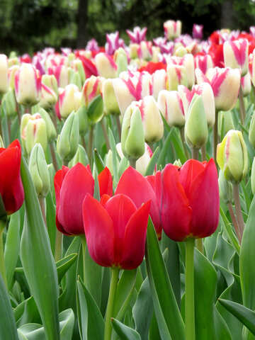 Tulips №31242