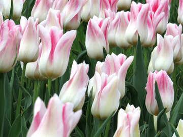Tulips background №31155