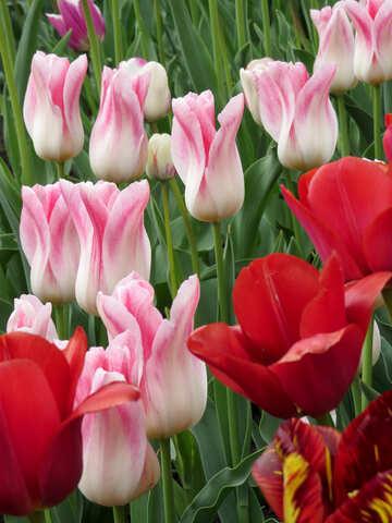 Schöne Tulpen №31165
