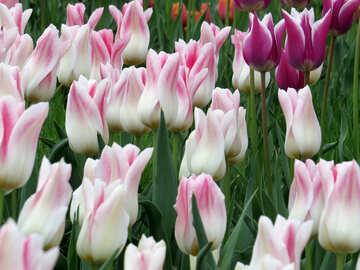 Gentle tulips №31153