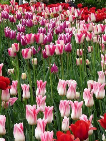 Many tulips №31167