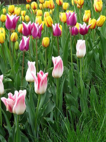 Multicolored tulips №31159