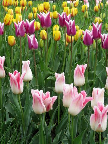 Multicolored tulips №31161