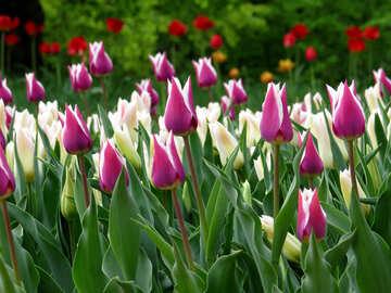 Multicolored tulips №31255