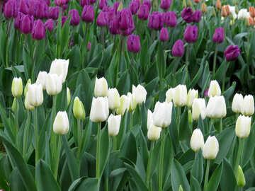 White tulips №31272