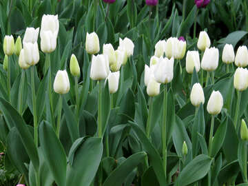 White tulips №31273