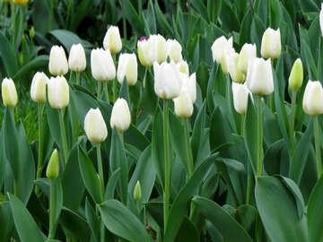 White tulips №31274