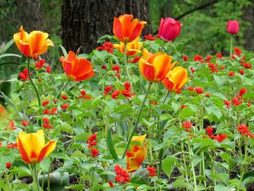 Wild tulips №31329