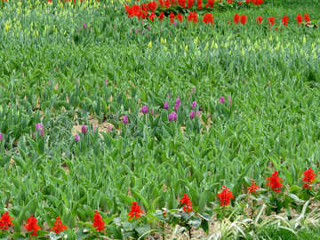 Tulips will bloom soon №31226