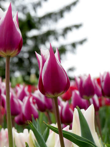 Beautiful background with tulips №31247