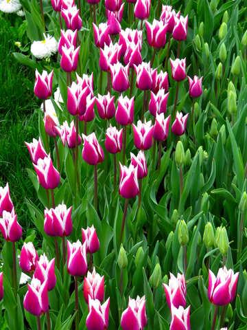 Elegant tulips №31299