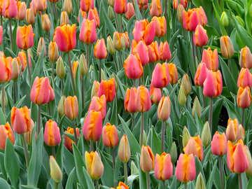 Green tulips №31292
