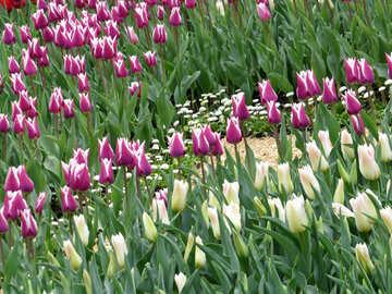 Tulips grow №31257
