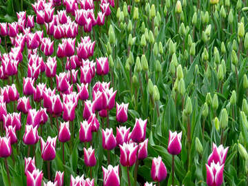 Varieties of tulips №31295