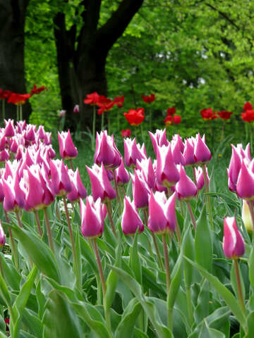 Wild tulips №31252