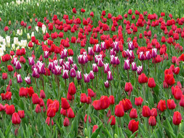 Tulips №31228
