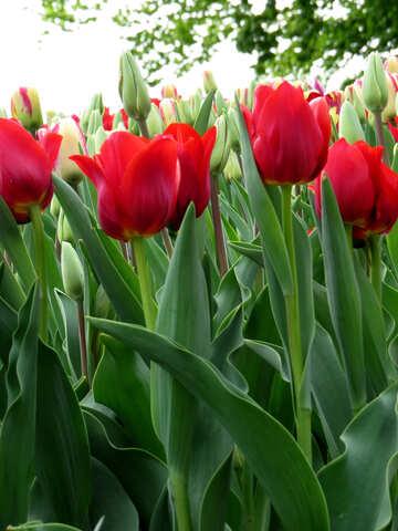 Garden tulips №31245