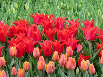 Glamorous tulips №31291