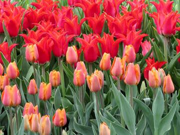 High-quality tulips №31290