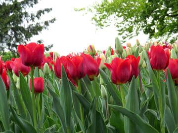 Many tulips №31243