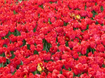 Sea tulips №31304