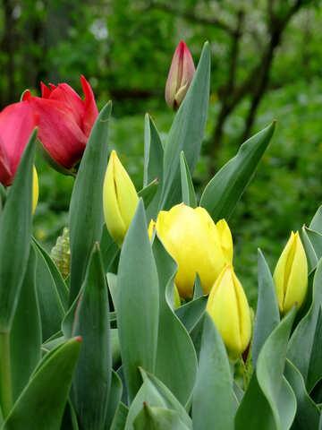 Tulips №31338