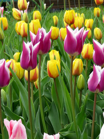 Different varieties of tulips №31162