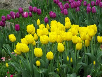 Tulips in spring №31266