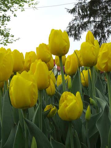 Yellow tulips №31262