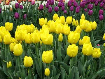 Yellow tulips №31264