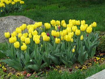 Variety of yellow tulips №31146