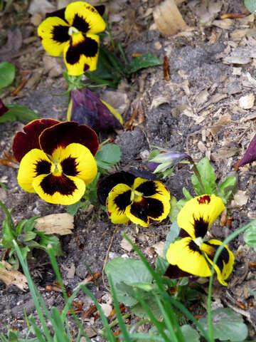 Flowers violets №31141