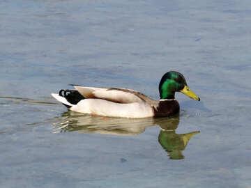 Wild duck №31356