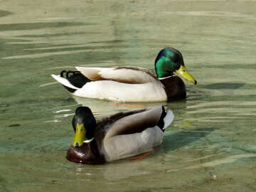Males of wild duck №31359