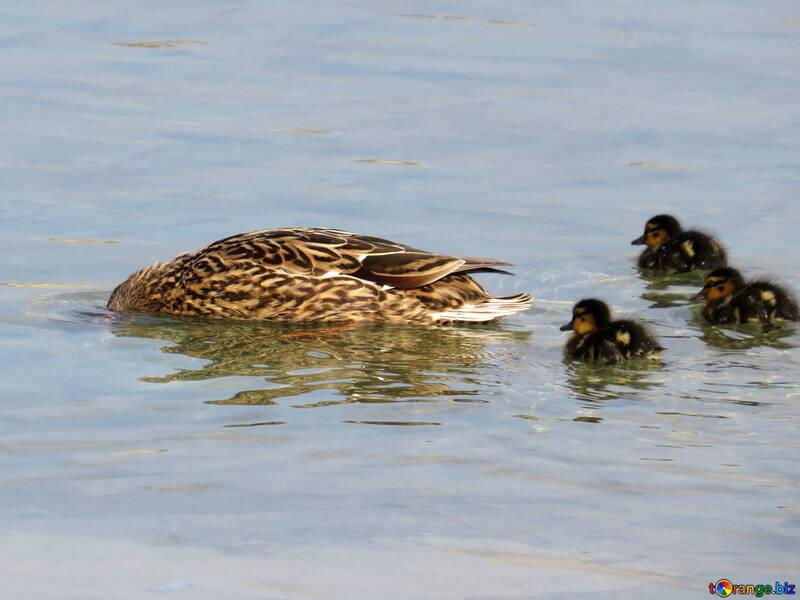 Waterfowl №31362