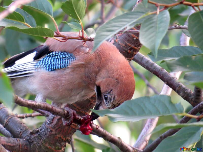 птицы которые кушают вишню