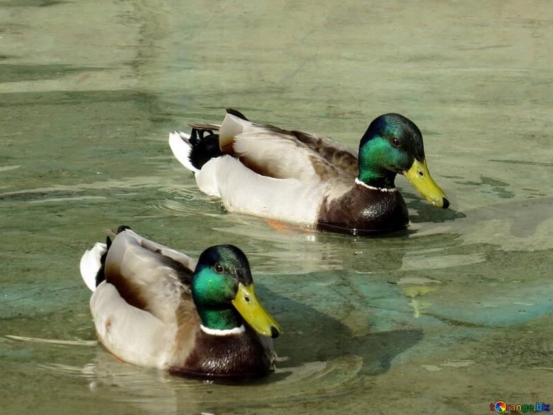 Wild ducks №31358