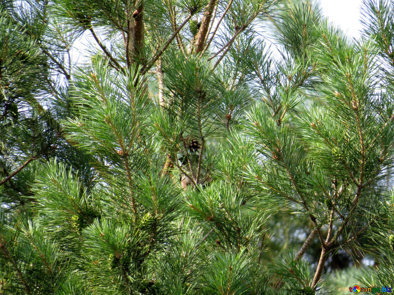 Pine №31040
