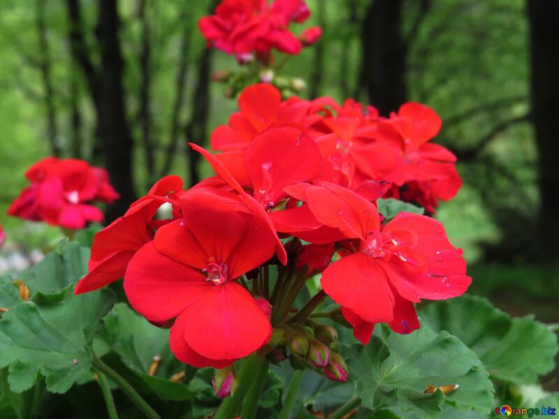 Flores rojas №31324