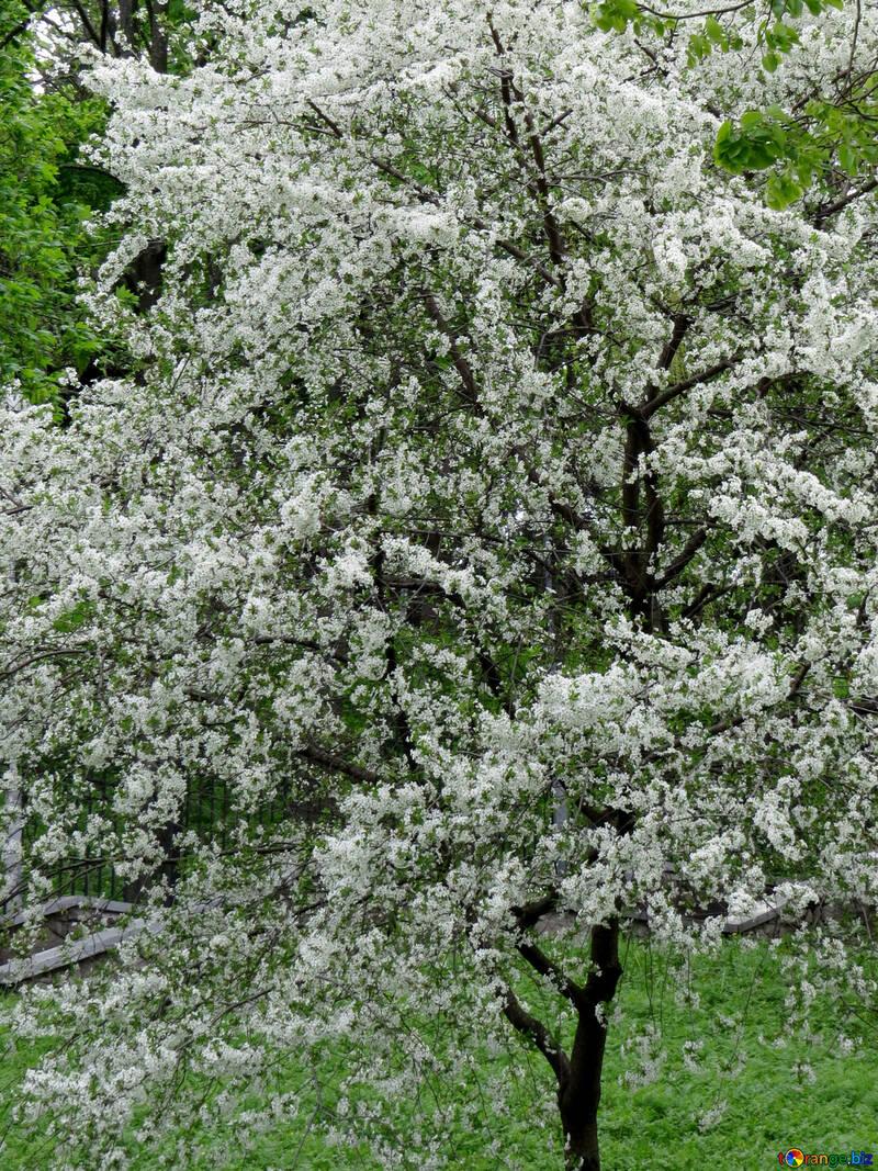 Цветущее дерево №31209