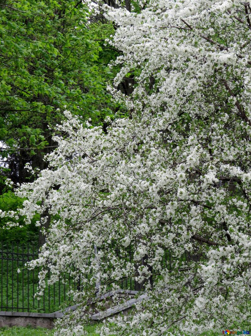 Дерево цветет №31211