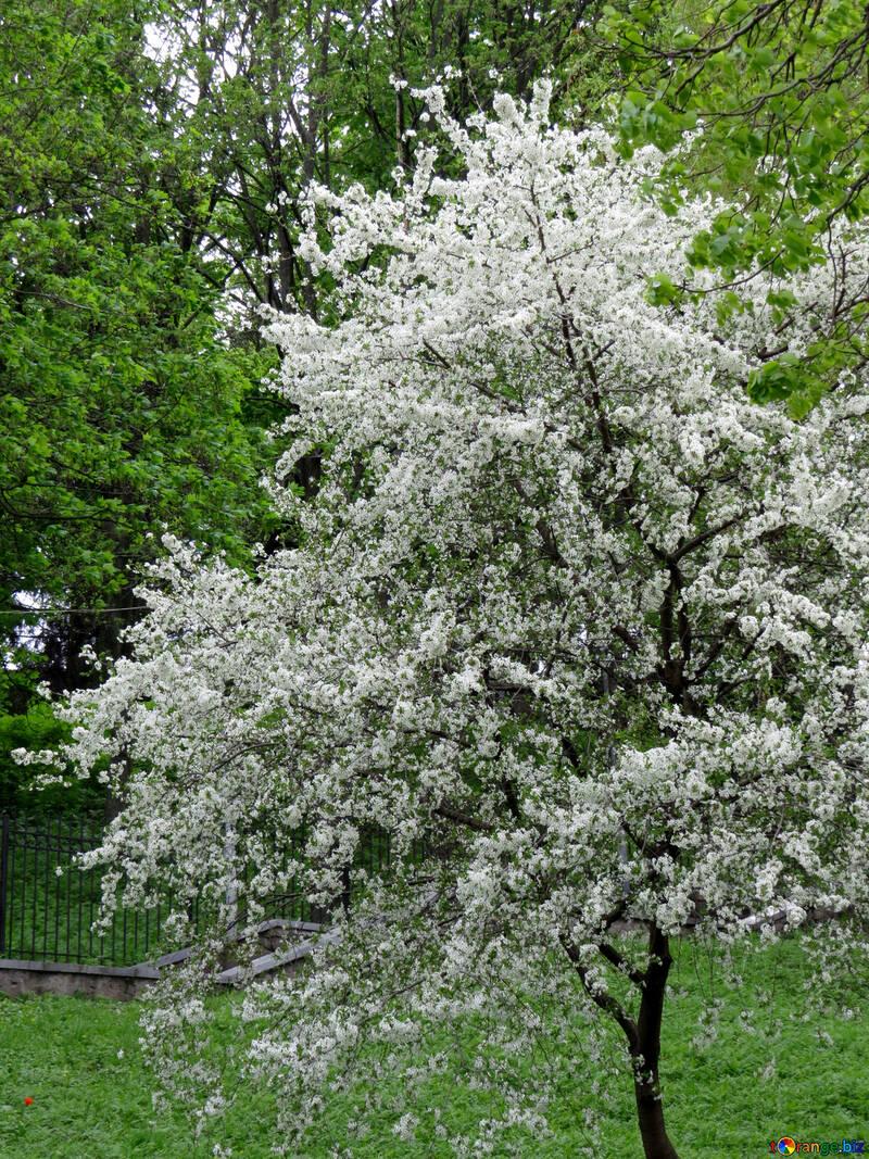 Цветущее дерево в парке №31210