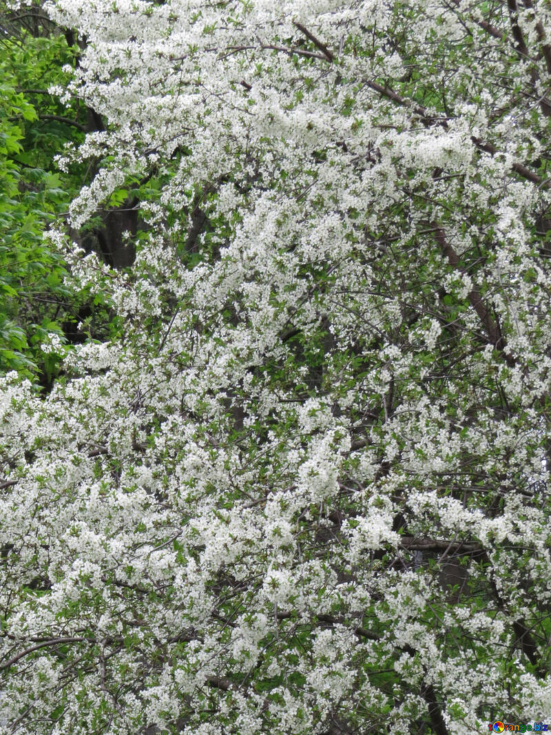 Белое дерево №31212