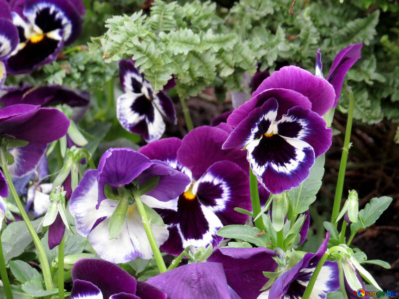 The flower Pansy №31342
