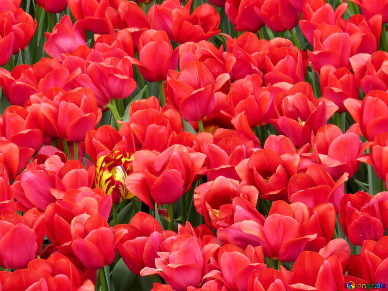 Red tulips №31307