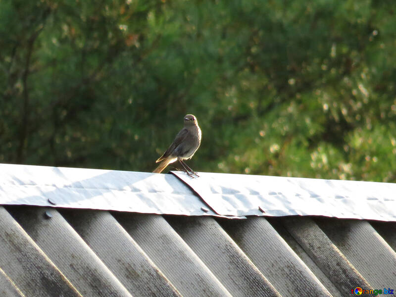 Un pájaro en el tejado №31643
